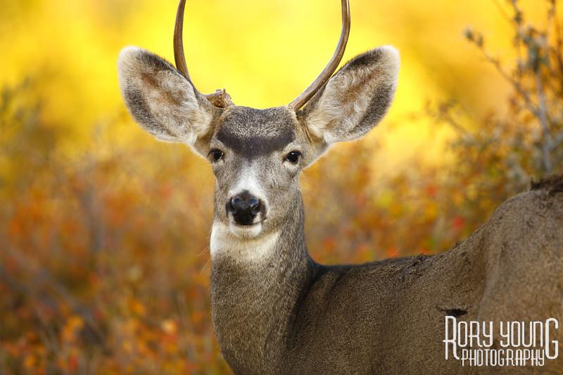 Deer-A.jpg