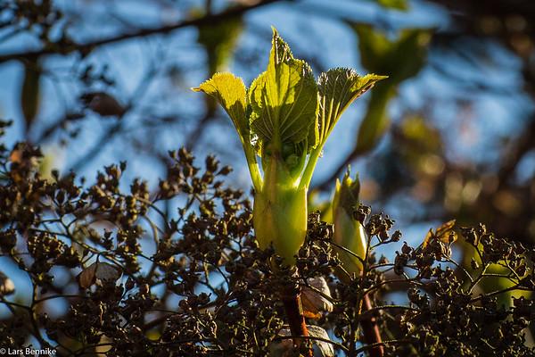2017 Knopper og tidlige anemoner