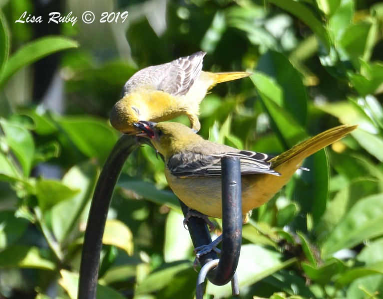 Mom and Juvenile Hooded Orioles - 5/28/2019 - Sabre Springs Backyard