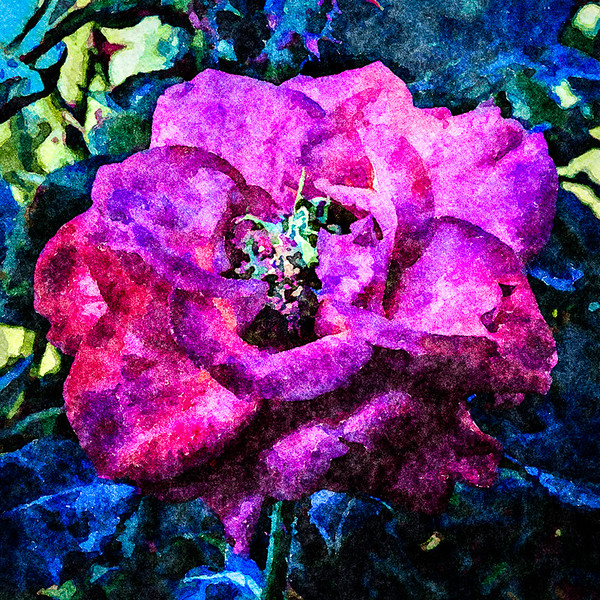 November 7 - November rose.jpg
