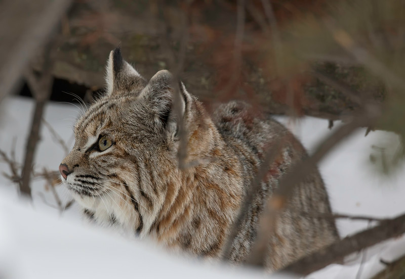 bobcat in deep woods winter.jpg
