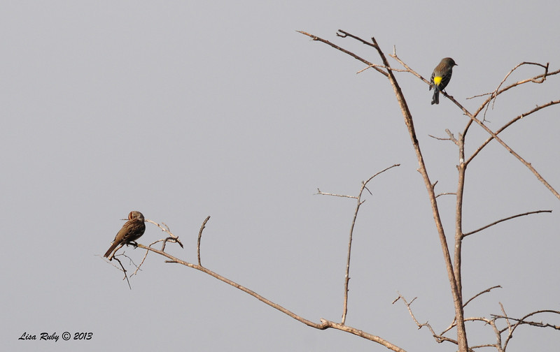 White-crowned Sparrow and Yellow-Rumped Warbler - 10/12/13 - Whelan Lake