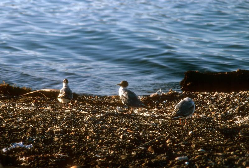 Bonaparte's Gull (Chroicocephalus philadelphia) Baja California, Mexico, 1977