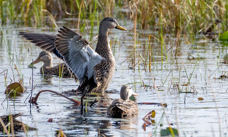 Mottled Duck
