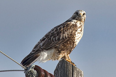 Roughlegged Hawk