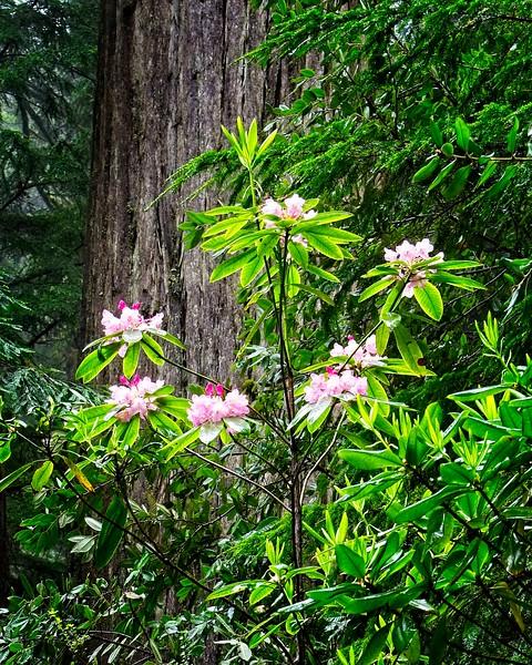 CA Redwoods - May 2019