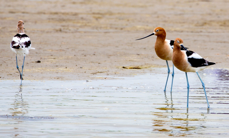 A trio of American Avocets.