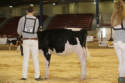 NY Spring Holstein Heifers 2017