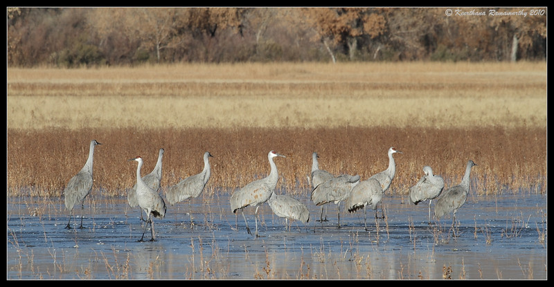 Sandhill Cranes, Bosque Del Apache, Socorro, New Mexico, November 2010