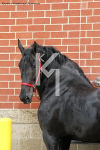 Open Horses-Part 2  Clydesdale & Percheron day 1