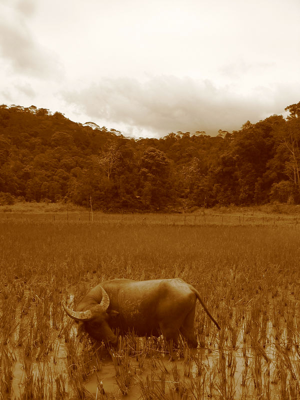 water buffalo in a rice field