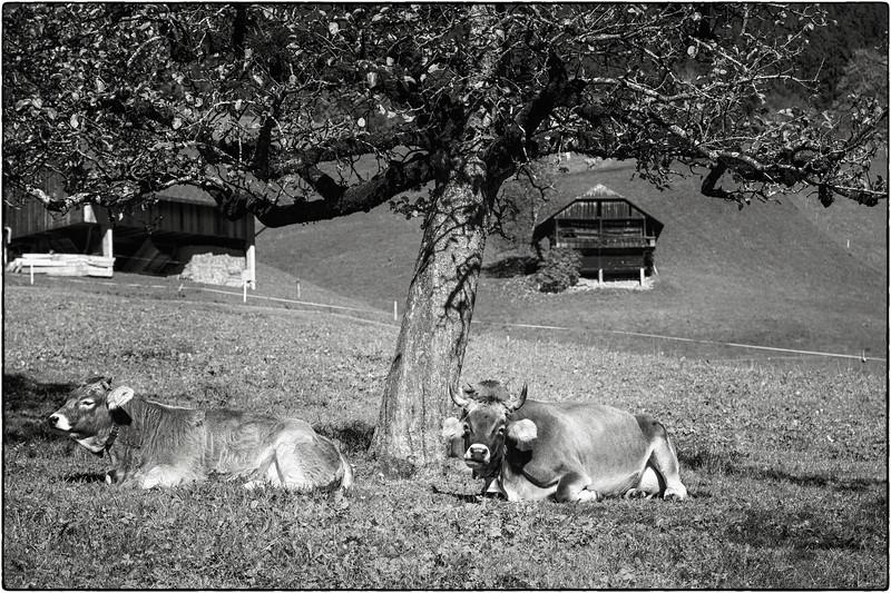 Kühe fallen nicht weit vom Apfelbaum