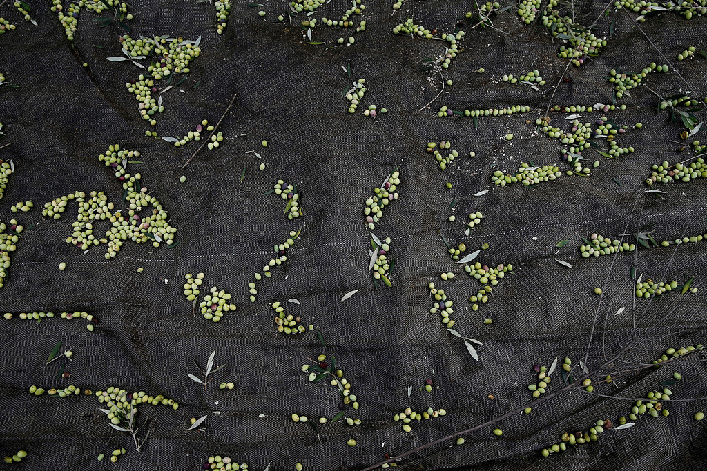 . Olives lie on a canvas tarp used for collection in Kalo Pedi village, about 335 kilometers (210 miles) west of Athens, Greece on Friday, Nov. 29, 2013. Greece remains the highest consumer of olive oil per capita in the world despite the country\'s ongoing financial crisis. (AP Photo/Petros Giannakouris)