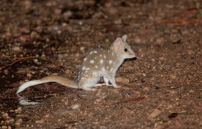 Carnivorous Marsupials (Dasyurids & Thylacine)