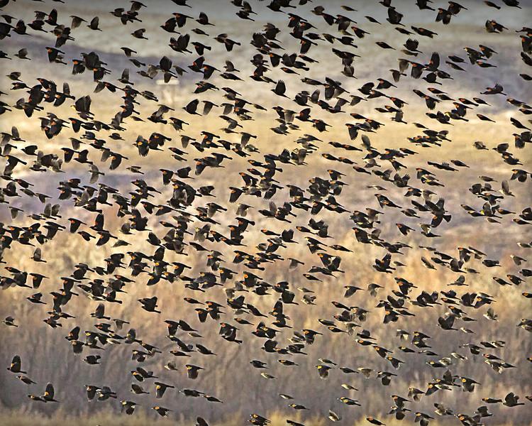 RED-WINGED BLACKBIRDS in flight over the corn fields BOSQUE - DECEMBER 2010