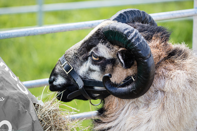 Badger Face Welsh Mountain Sheep