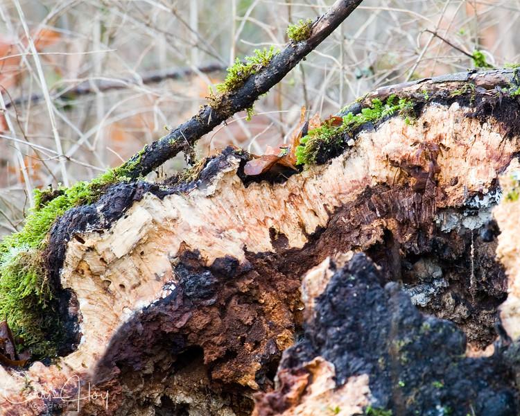 Rotten tree.jpg