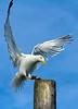 Seagull landing from flight on a wooden pillar. Photography fine art photo prints print photos photograph photographs image images artwork.