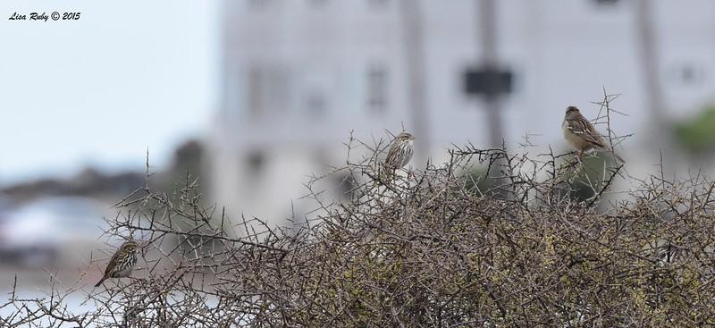 Belding Savannah, Large-billed Savannah and White-crowned Sparrows  - 11/26/2015 - Tijuana River Estuary
