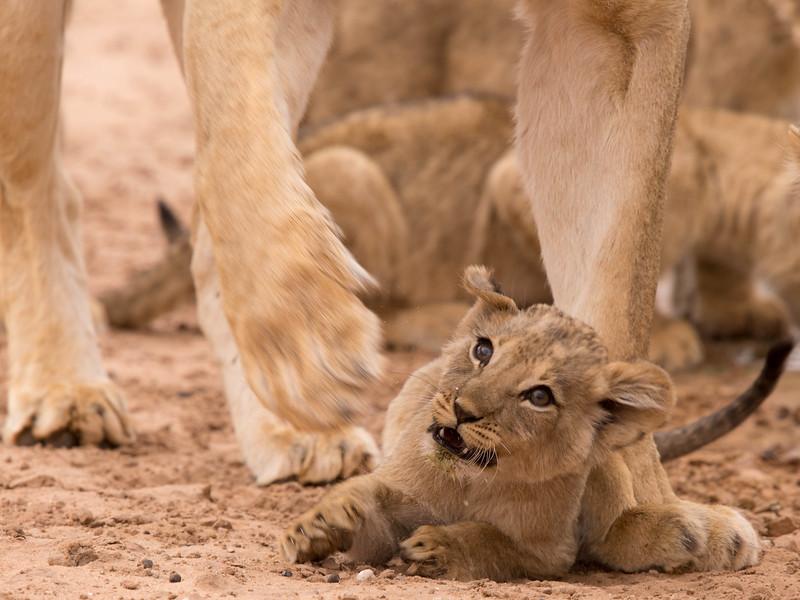 Playtime - lion cub attacking mom's paw, Kalahari Desert