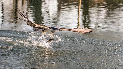 Ospreys 10th April 17