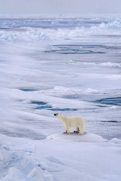 Lone Polar Bear Atop The World.jpg