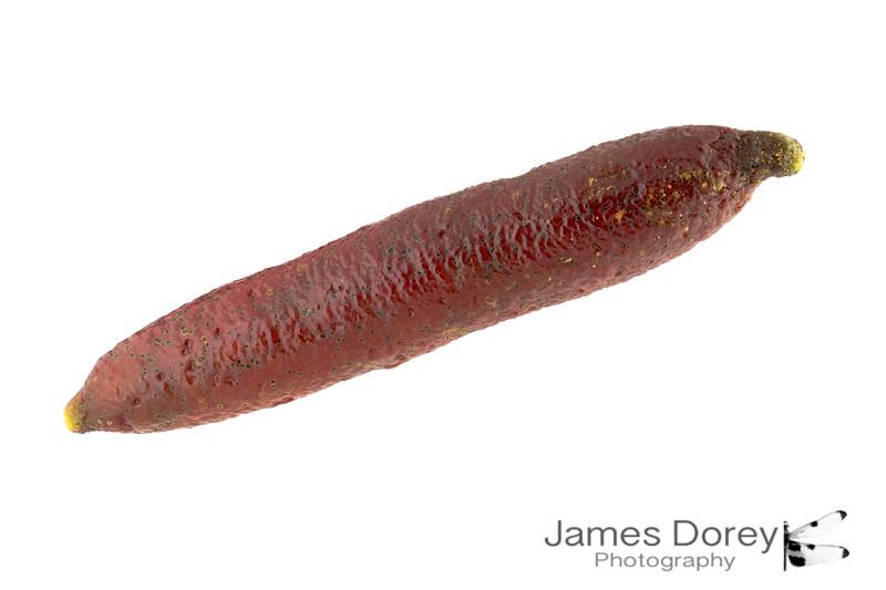 Lonng Red Finger Lime 12p 100mm 1-3.jpg