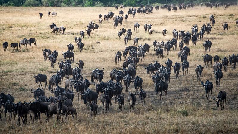 Wildebeest 2 (1 of 1).jpg