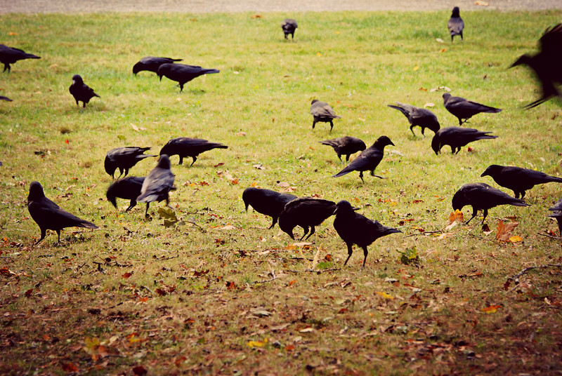 American Crows Seattle, WA