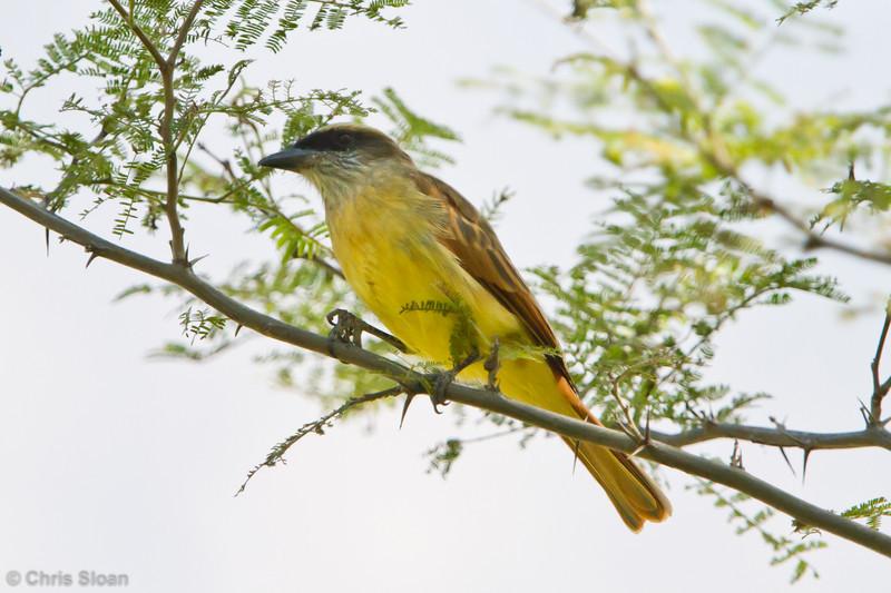 Baird's Flycatcher at Chaparri Reserve, Lambayeque, Peru (06-27-2010) 639