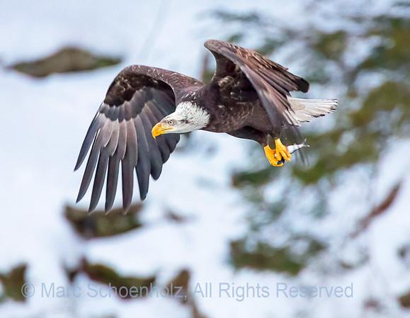 Raptors:  Eagles,  Hawks