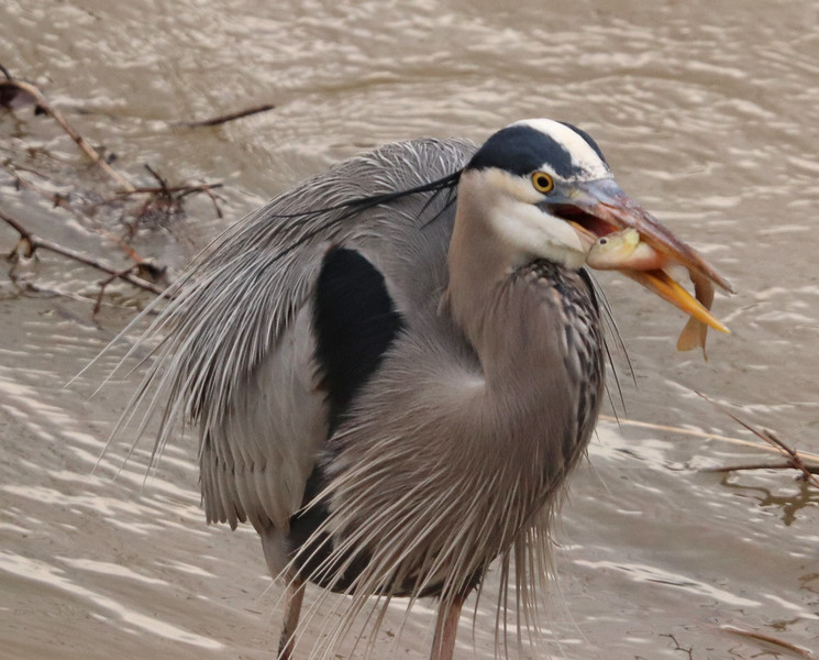 Great blue heron and fish 2