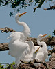 Tree Amigoes Awaiting Chow: Great Egret Chicks at the Alligator Farm #1 04/14