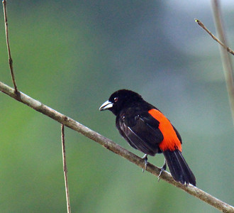 Cherrie's Tanager (Scarlet Rumped)