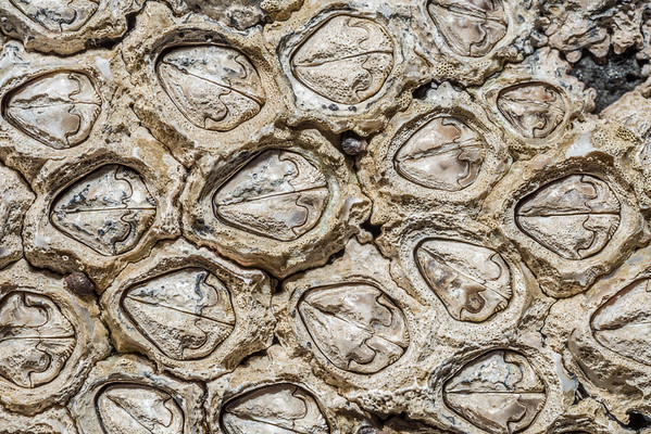 Chamaesipho brunnea - Brown barnacle