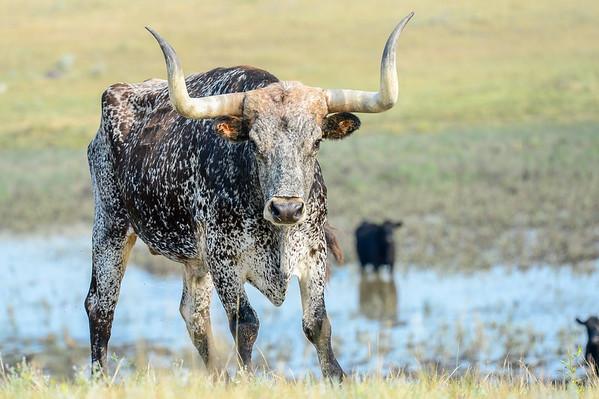 7-10-15 Texas Longhorns