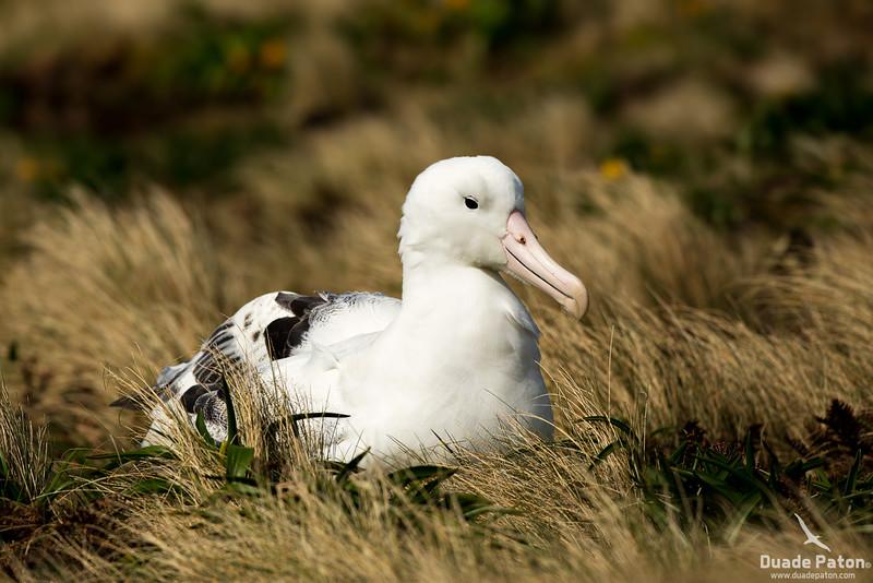 SouthernRoyalAlbatross-CampbellIsland,NZ-12-12-13.jpg