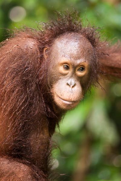 Orangutan Portrait I