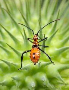 Hemiptera - Bugs