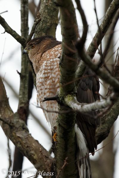 Cooper's Hawk Accipiter cooperii in the rain.
