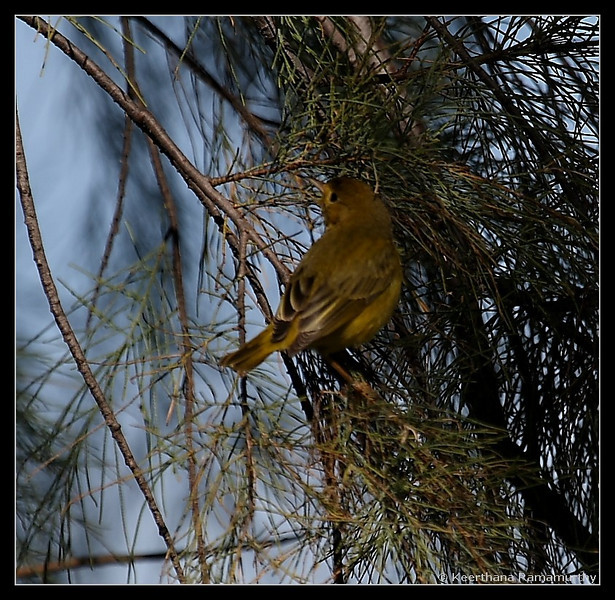 Yellow Warbler, Oceanside CBC count, San Diego County, California, December 2008