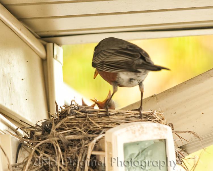 011 Baby Robins Spring 2013.jpg