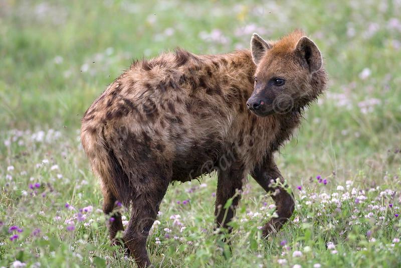 IMG_6496 Spotted Hyena.jpg