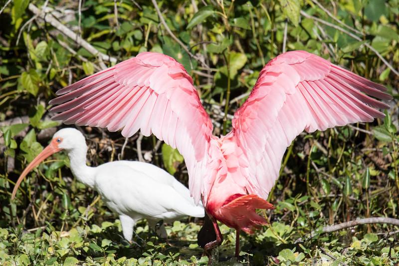 Roseate Spoonbill St Pete FL 2020-1.jpg
