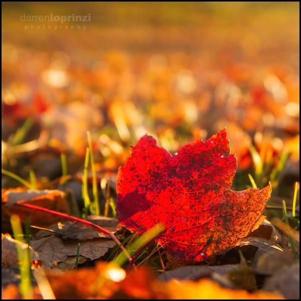 Red Fall 2517 wm-2.jpg