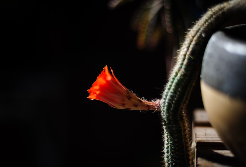 monkeytail flower 58 042920-2725.jpg