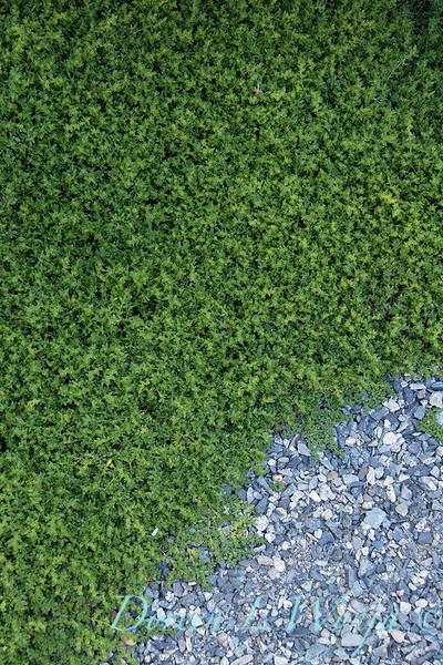 Herniaria Glabra green carpet_3179.jpg