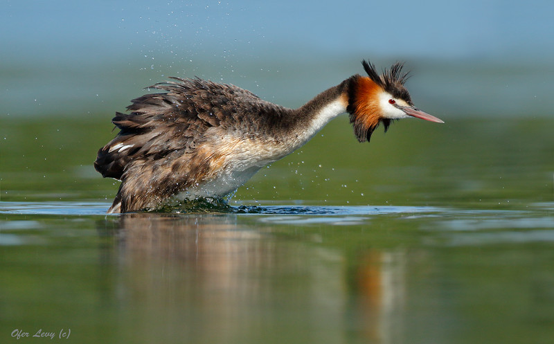 Great-crested Grebe 21.jpg
