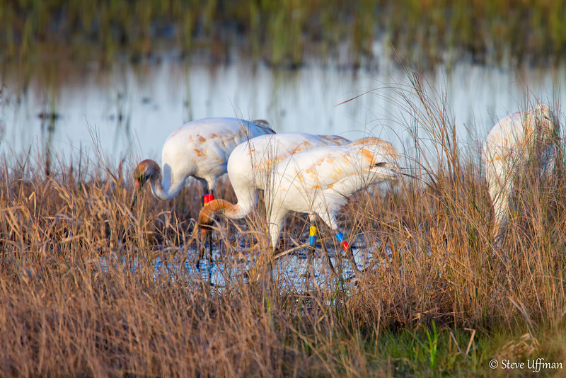 20120207-_MG_2621Whooping_Cranes_White_Lake-Edit.jpg