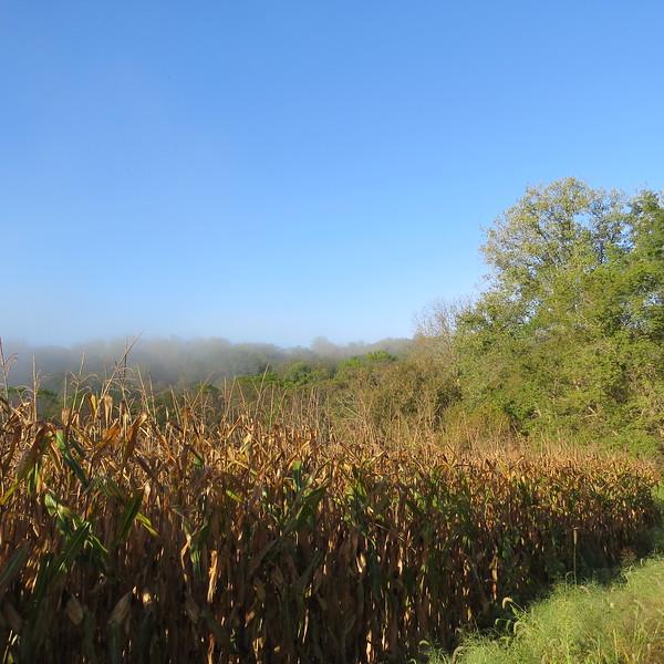 corn field in fog.JPG